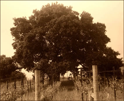 Linstrom Wines - Oak Tree