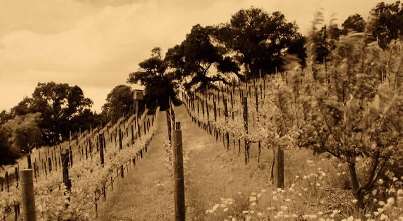 vineyard on hill
